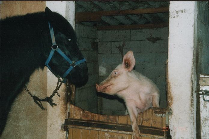 bisou cochon